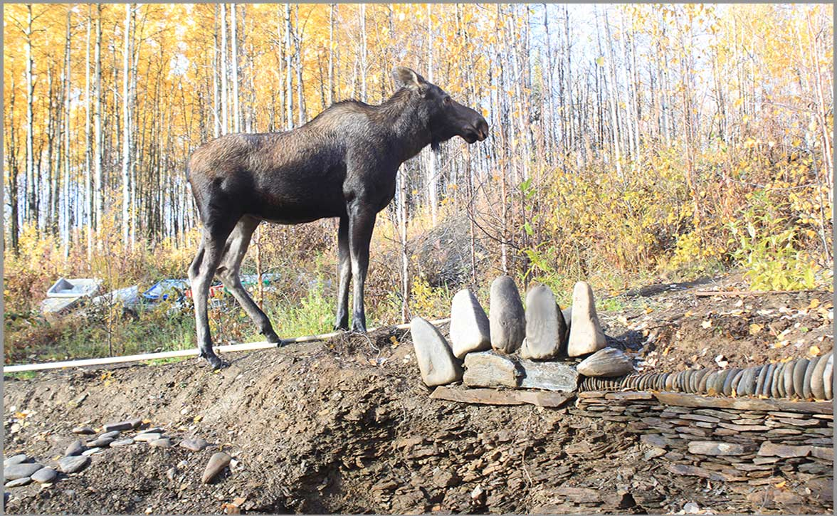 Young female moose standing at the stone bear paw at the Stone Sanctuary Fairbanks Alaska