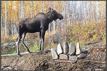 Moose standing near Stone Bear PawSanctuary, Fairbanks, Alaska